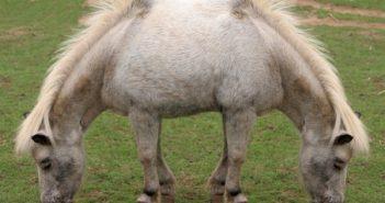 Two-Headed-Pony