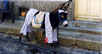 Insolite âne habillé