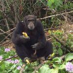[INSOLITE] SOS pour Ponso le chimpanzé