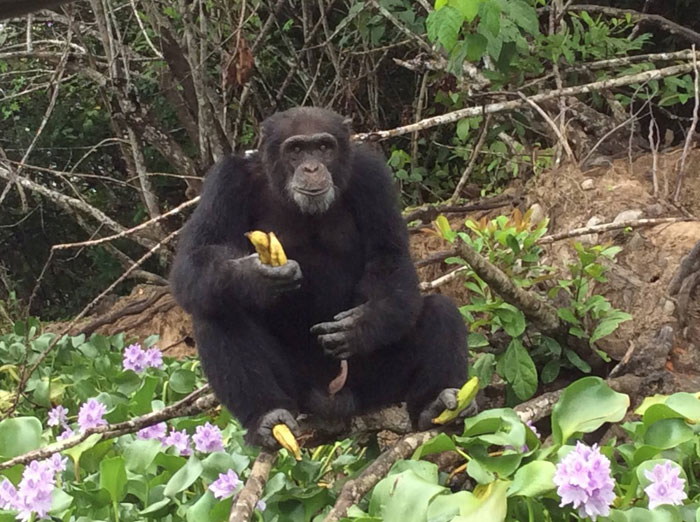 Ponso-le-chimpanzé