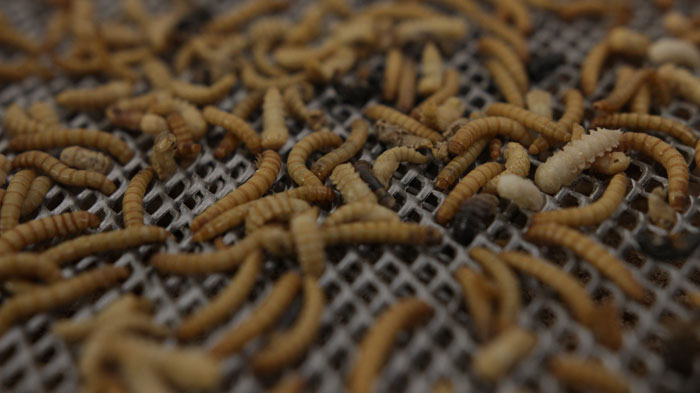 insectes entomo farm